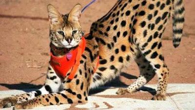 gato-serval-raza-caracteristicas
