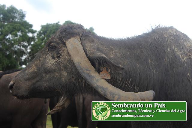 bubalus bubalis búfalo de agua