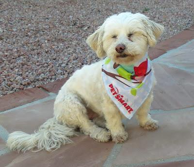 Phoebe is wearing her PetSmart Owly bandana from the PetSmart grooming salon