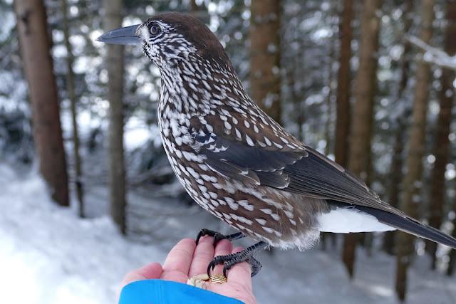 Tannenhäher, Vogel, Hand, Eichhörnliweg, Winter, Eichhörnchenweg, Wald