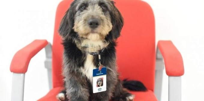 Cachorro devolvido para ONG e adotado pelo CAPS se torna funcionário e ganhou até crachá