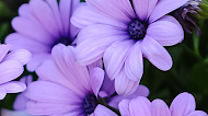Purple Daisies Mobile Wallpaper