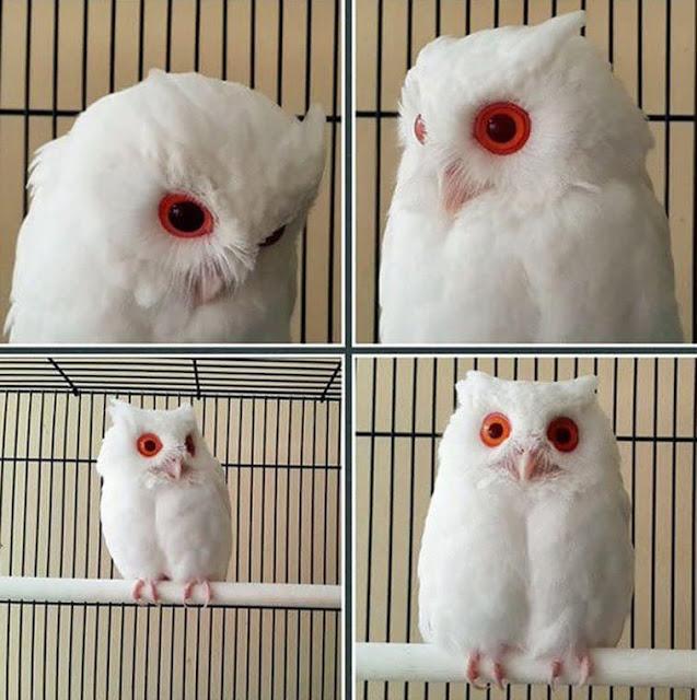 Albino owl rescued from potential predators