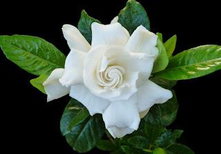 Gardenia for better sleep