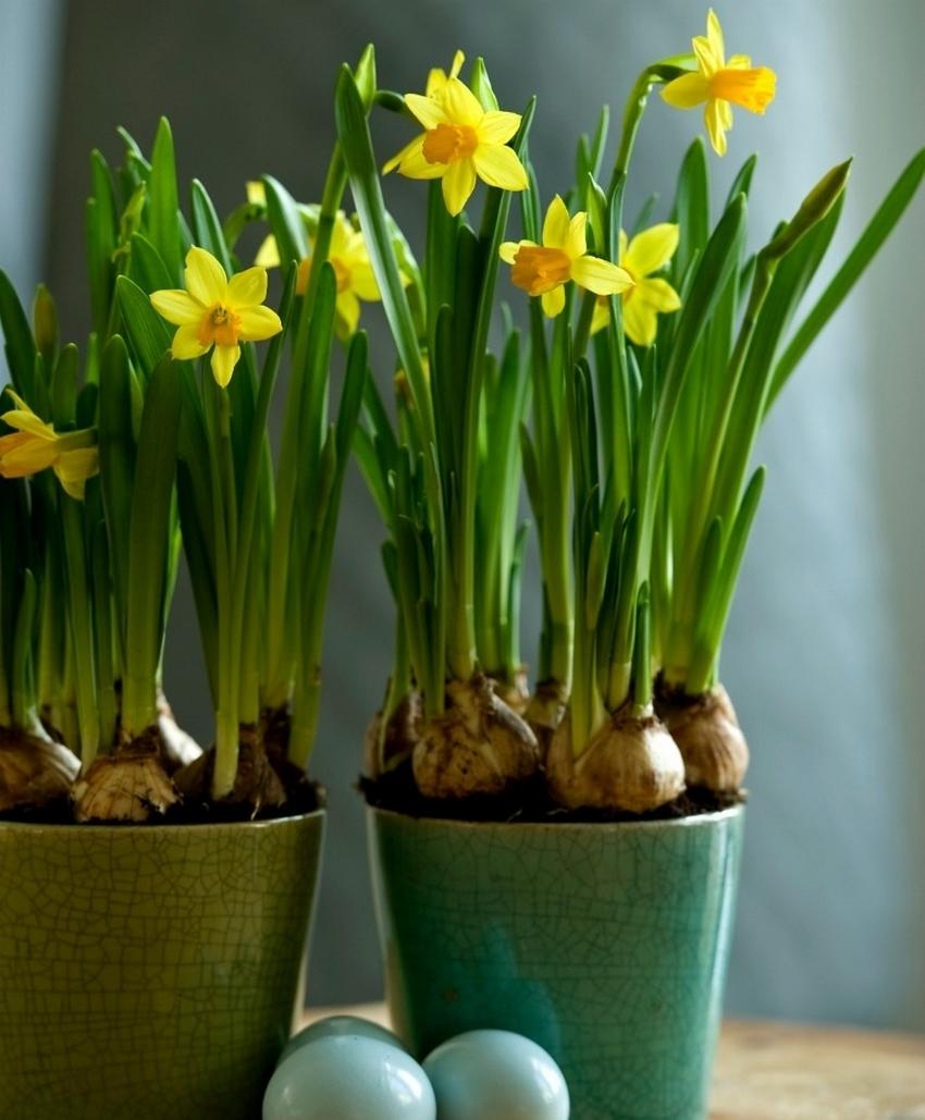 flores amarillas de narcisos miniatura o enanos en maceta