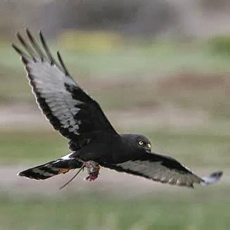 Aguilucho negro Circus maurus