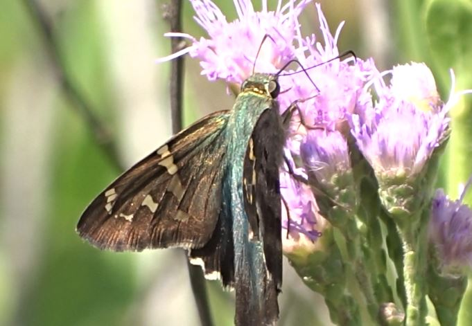 Florida Schmetterling Long-tailed Skipper - Urbanus proteus