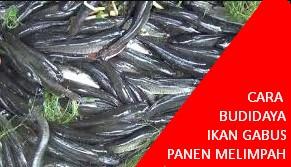 Cara Budidaya Ikan Gabus Lengkap dengan Video