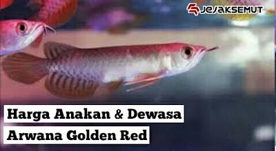 Harga Anakan & Dewasa arwana golden red