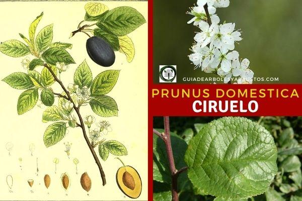 Prunus domestica, árbol que rara vez supera los 9 metros de altura