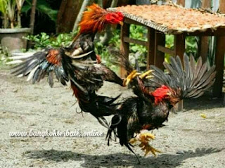 Tips melath ayam bangkok aduan dengan baik dan benar