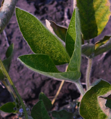 Stippling injury caused by two-spotted on a soybean leaf