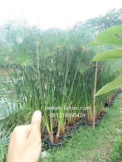 pohon papyrus