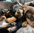 Doxies Live Here!