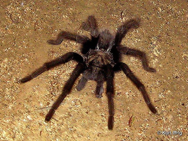These tarantulas are harmless to humans, and usually only seen at night.