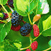 Mulberry Tree: Types, Medicinal benefits, how to grow, and where to buy