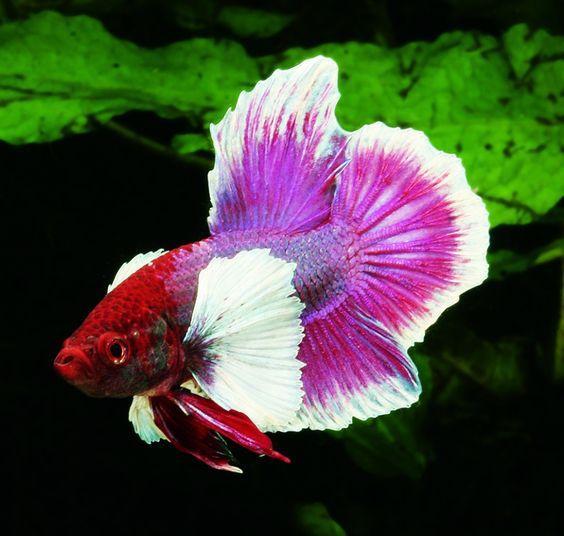 5 Jenis Ikan Cupang Hias Paling Mahal - InfoSeru29