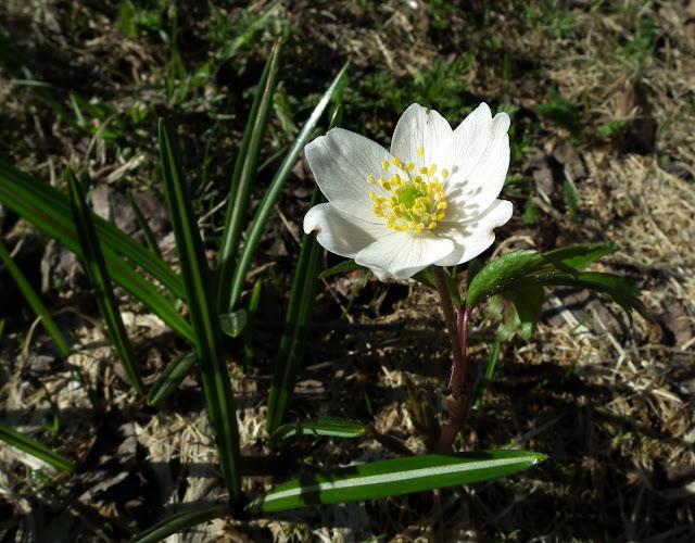 vaökovuokko, kevät, toukokuu