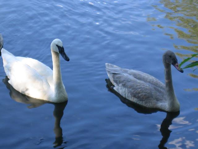 Swan at Brookfield Zoo
