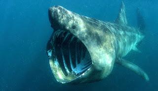 Cetorhinus maximus, el tiburón peregrino