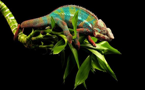Kameleon download besplatne pozadine za desktop 1680x1050