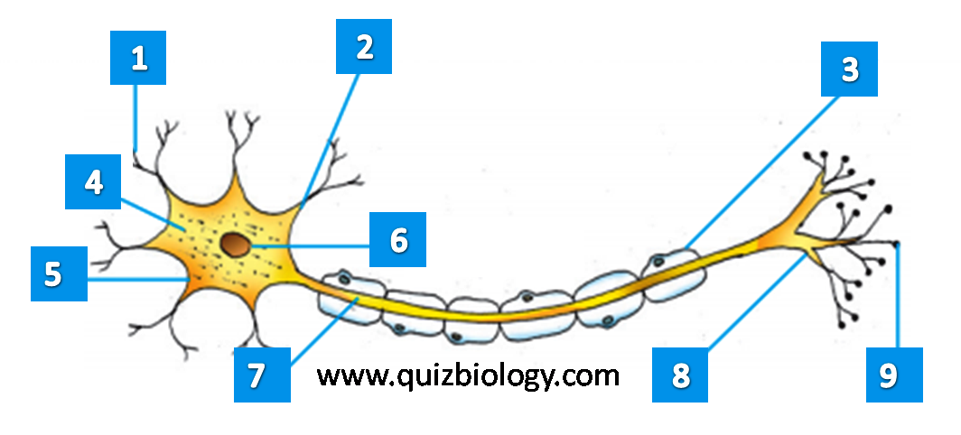 Diagram Quiz on Neuron Structure and Function (Labeling Quiz)