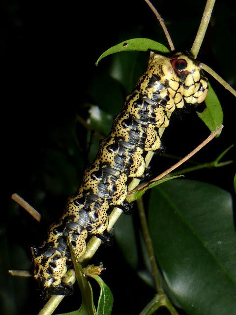 Brahmaea certhia caterpillar