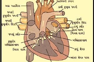 પ્રશ્ન-4 હૃદયમાંથી લોહી બહાર લઈ જતી લોહીની નલિકાને શું કહેવામાં આવે છે.