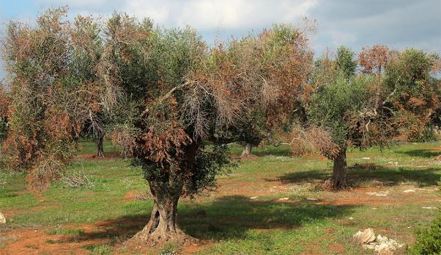 Έφτασε στην Ελλάδα το βακτήριο Ξυλέλα (Xylella) που ξεραίνει τις ελιές? - Συναγερμός στις Αρχές