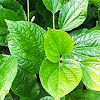 Take advantage of the betel leaves, red and green for health