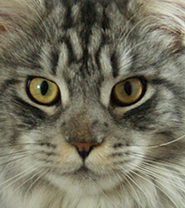 American Curl Maine Coon Mix Personality, Size, Lifespan, Price
