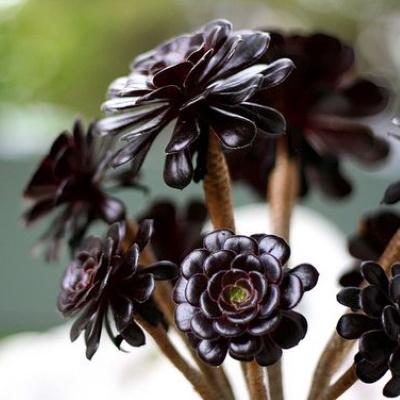 aeonium black