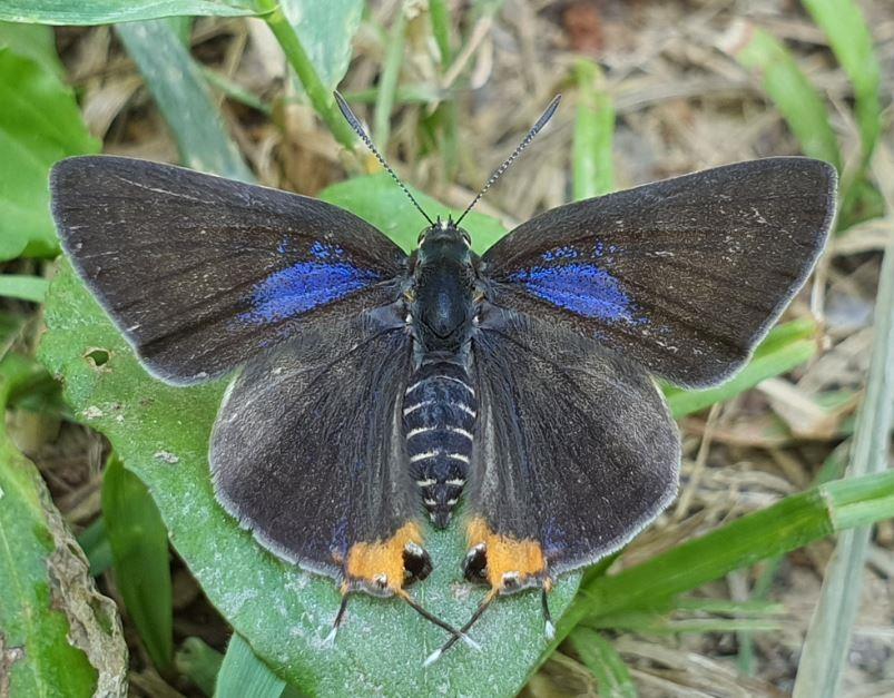 멸종위기 야생생물 Ⅱ급 '쌍꼬리부전나비' 남산공원 서식 확인