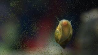 Algae Eater Snail