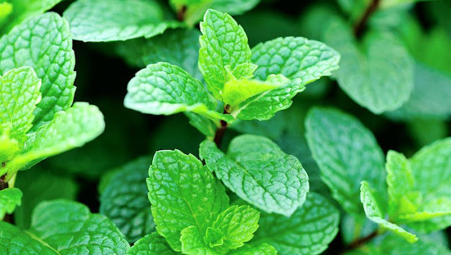 8 Plants That Will Protect You From Mosquitoes for Good