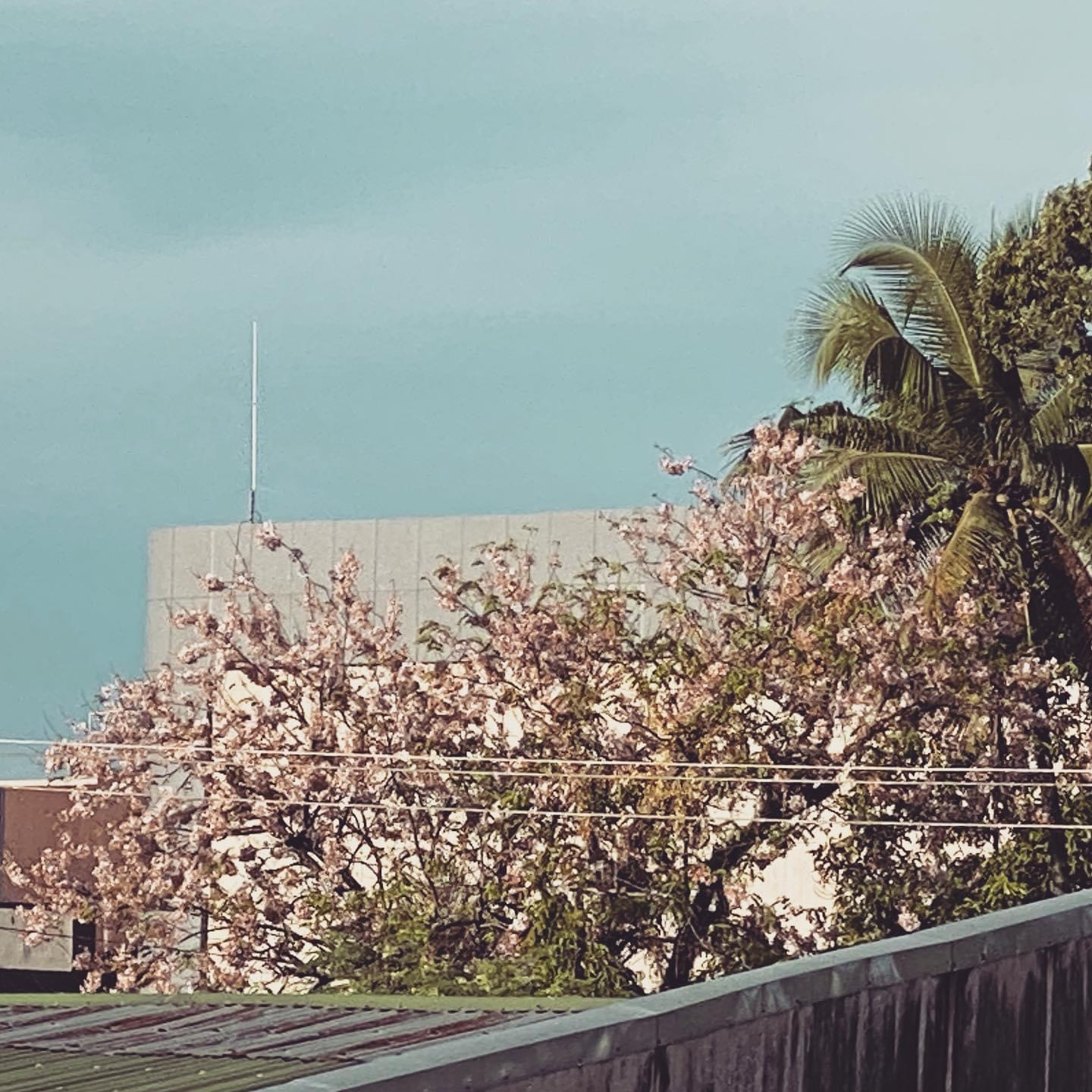 Palawan Cherry Blossoms, Philippines