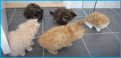 Kucing Persia Asli cirinya
