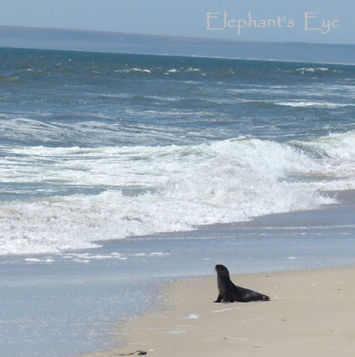 Cape fur seal at Rocher Pan beach