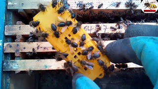 Introduction of a new queen bee