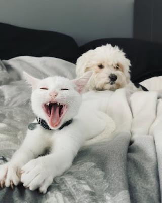 Bichon maltes y gatos son amigos