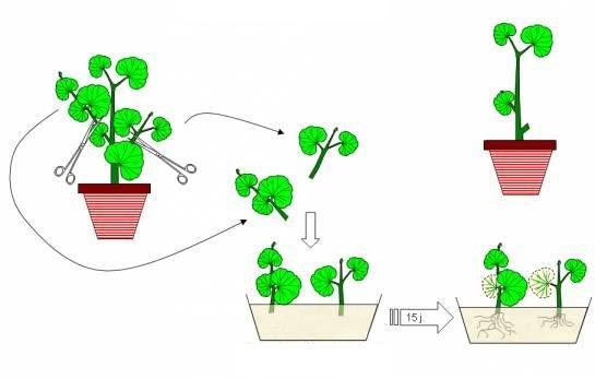 أهمية التكاثر الخضري