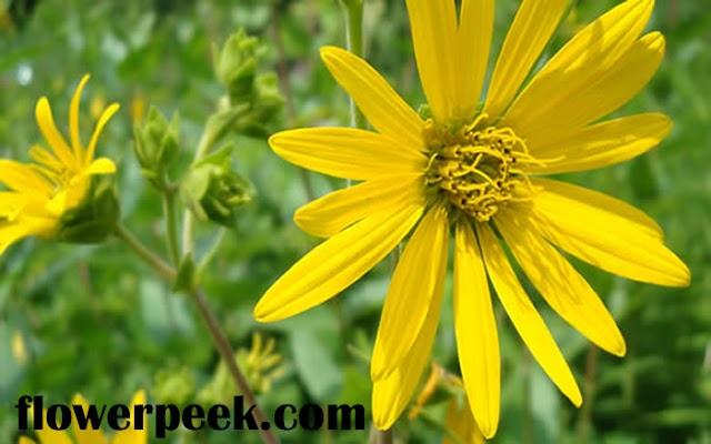 How to grow and care for Rosinweed plant