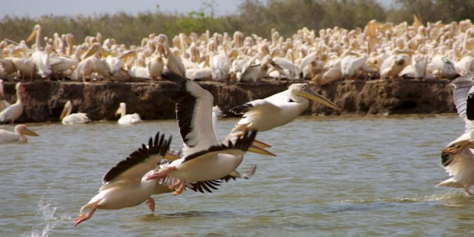 SENEGAL: FAO supports bird conservation in the Senegal River Delta