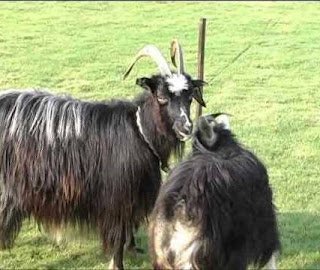 Dutch Landrace Goat Images, Milk, Weight, Size, Facts, Breed, Price