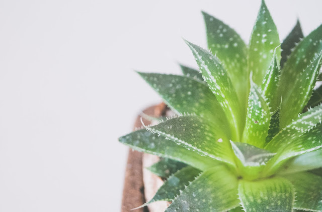Aloe Vera | A Wonder Herb | Benefits And Uses