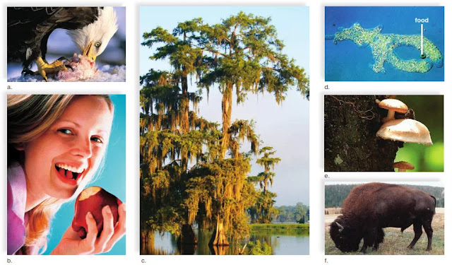 FIGURE 3 Acquiring nutrients and energy. a. An eagle ingesting fish. b. A human eating an apple. c. A cypress tree capturing sunlight. d. An amoeba engulfing food. e. A fungus feeding on a tree. f. A bison eating grass.