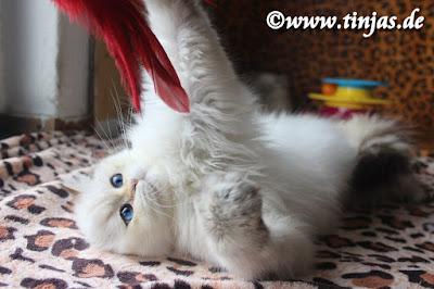 Britisch Langhaar Katzenbaby