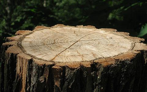 Tree stump freshly cut