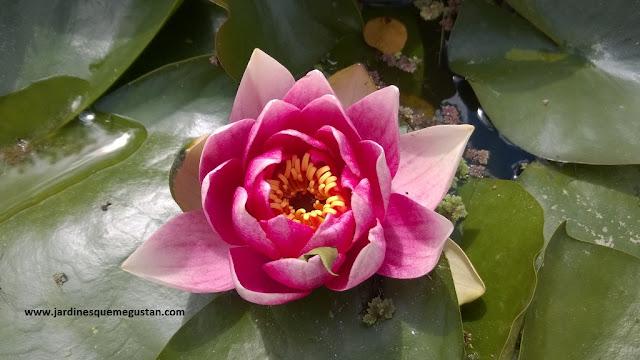 Flor de nenúfar