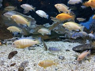 Ikan Hias Air Tawar yang Bisa Dicampur Dalam Akuarium